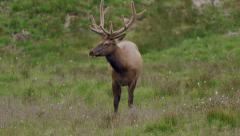 Stock Video Footage of Elk with large antlers