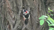Stock Video Footage of Woodpecker thick branch of acacia, bird
