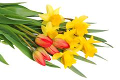red tulips and yellow narcissus - stock photo