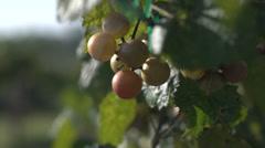 GrapePicking1 - stock footage