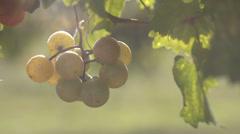 GrapesHanging Stock Footage