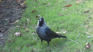 Stock Video Footage of Crow and its catwalk