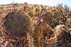 Prickly pears in closeup Stock Photos