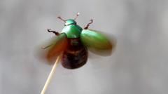 Beetle flying Stock Footage