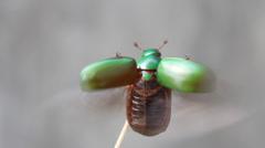 beetle flying - stock footage