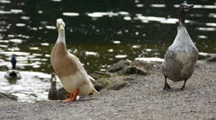 Two Big Ducks, One Gets  A Piece Of Bread Stock Footage