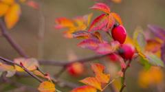 Rosehip Berries. Autumn 3 Stock Footage