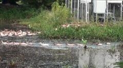 Free Range Duck Farming in Thailand - 09 Stock Footage