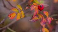 Stock Video Footage of Rosehip Berries. Autumn 1