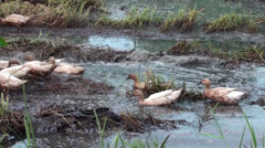 Free Range Duck Farming in Thailand - 03 Stock Footage