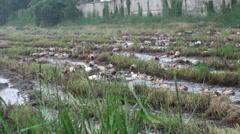 Free Range Duck Farming in Thailand - 01 Stock Footage