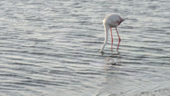 Stock Video Footage of funny flamingo comically looking for a feed