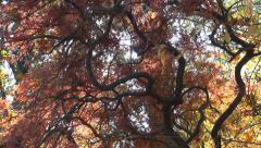 Japanese Maple Tree in Autumn, Leaves Branches, Fall, Falling Foliage, Sunshine Stock Footage
