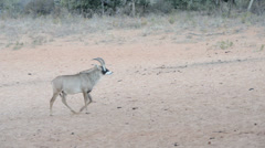 Sable antelope is moving with caution through savannah Stock Footage