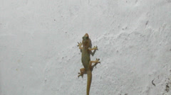 Geckos crawling on the wall Stock Footage