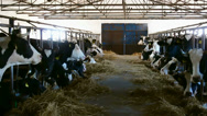 Stock Video Footage of Barn with cows