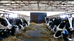 Cow stable Stock Footage