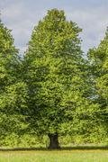 Linden tree Stock Photos