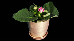 Growth of Gloxinia flower buds ALPHA matte,  Stock Footage