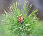 Stock Photo of pine branch with buds.