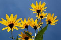 yellow topinambur flowers (daisy family) against blue sky - stock photo