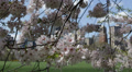 Central Park New York City Towers Cherry Trees Blossoming Twig Sheep Meadow Day Footage
