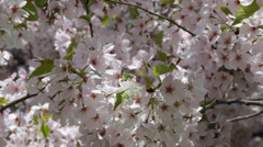 Central Park New York City Cherry Trees Blossom Flowers Nature NYC Environment Stock Footage