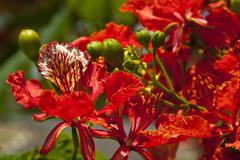 Delonix regia flowers Stock Photos