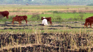 Stock Video Footage of farmers care for cows