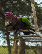 red fan parrot - endangered species - stock photo