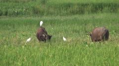 Domestic Asian water buffalo - Bubalus bubalis - 7 Stock Footage