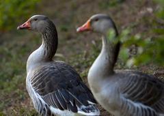 Grey geese Stock Photos