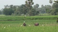 Domestic Asian water buffalo - Bubalus bubalis - 6 Stock Footage