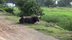 Domestic Asian water buffalo - Bubalus bubalis - 4 Stock Footage