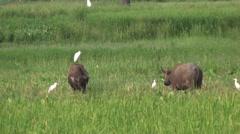 Domestic Asian water buffalo - Bubalus bubalis - 5 Stock Footage