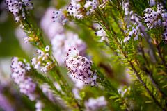 Stock Photo of light pink heath plant blossoming close up