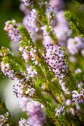 light pink heath plant blossoming close up - stock photo