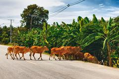 cows cross the road - stock photo