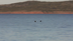 Couple of ducks flying together over ocean bay Stock Footage