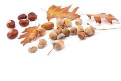 Autumn oak leaves and acorns isolated on white background. Stock Photos