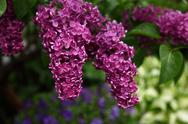 Stock Photo of branch blooming lilacs.