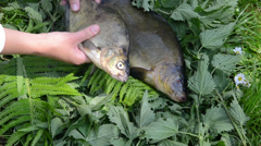Hand placed the big fish tench perch next to small fish Stock Footage