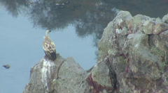Griffon Vulture landed on the rock Stock Footage