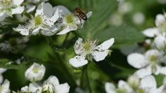 White blackberries florets fly two small bees Stock Footage