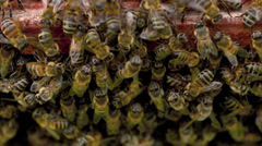 Stock footage bees  and honey comb macro Stock Footage