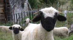 Black nose sheep close-up Stock Footage