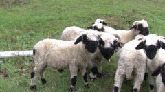 Group of 10 black nose sheep Stock Footage