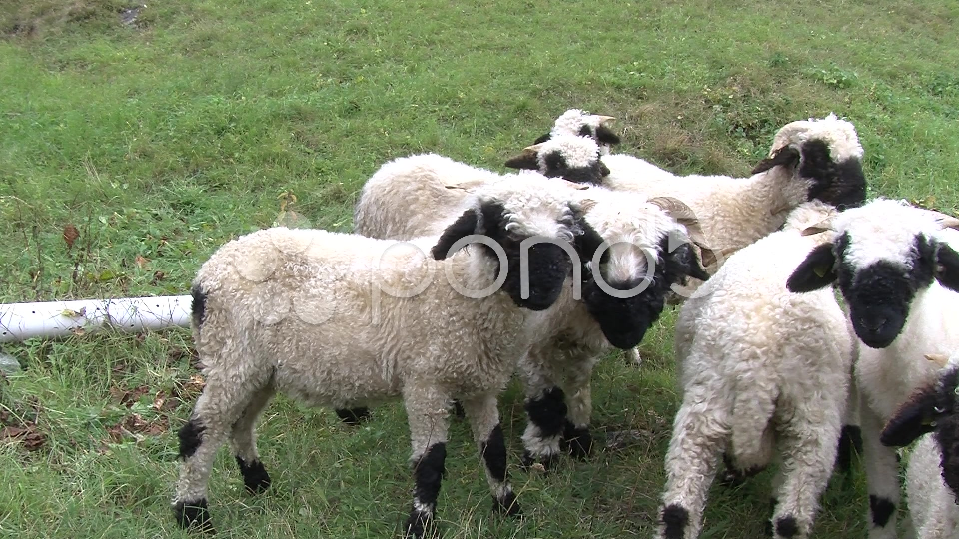 Valais Blacknose Sheep Wallpaper