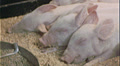 PIGLETS SLEEP Feeding 1960s Vintage 8mm Film Home Movie 7256 HD Footage