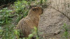 Capybara. - stock footage